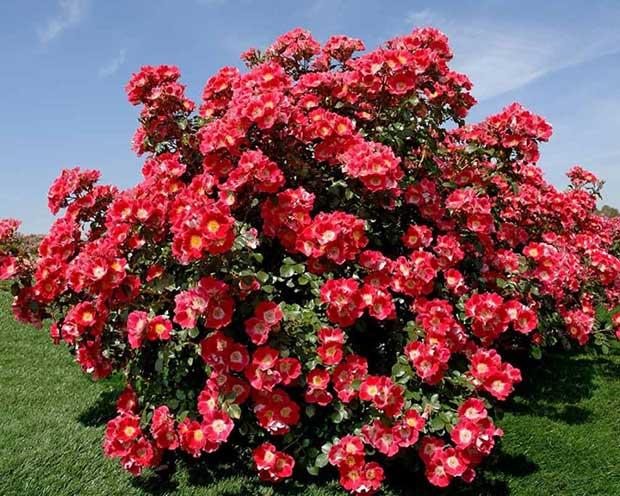 rose-coprisuolo-paesaggistiche