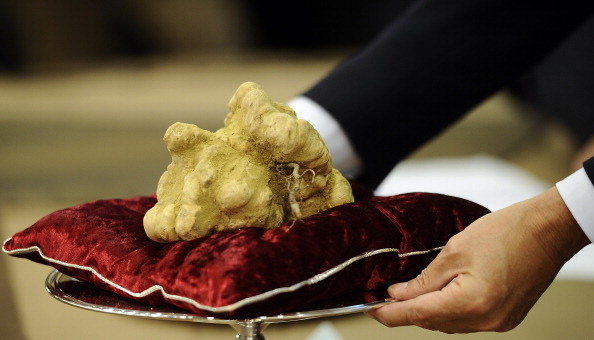 """An official displays a white truffle on An official dispalys a 900 grams white truffle with the mother (roots) wich was auctionned for 105-milion-euro on November 14, 2010 during the traditionnal annual truffle auction sale in Alba, northern Italy. The Piemonte region, where Alba is located, is considered to have the best """"tartufo bianco"""" (white truffles) in the world. AFP PHOTO / Filippo MONTEFORTE (Photo credit should read FILIPPO MONTEFORTE/AFP/Getty Images)"""
