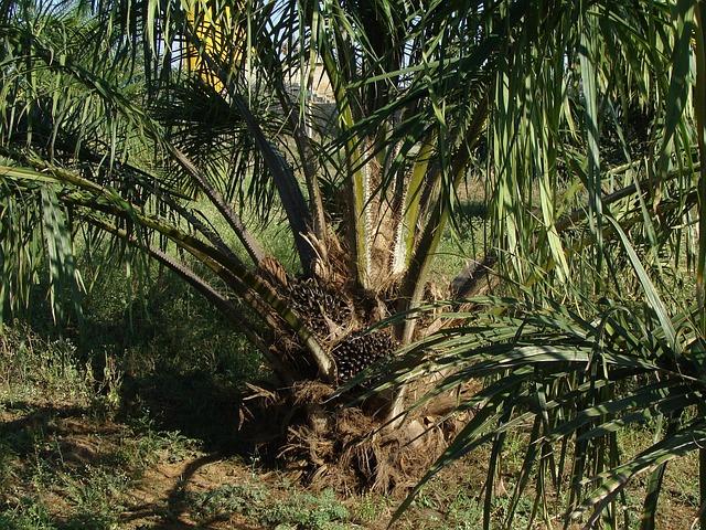 Palma da olio, ambiente